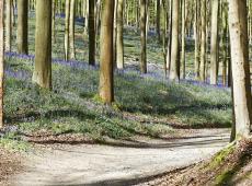 Piet De Bruyn - Schauvliege en N-VA ruziën over toegankelijkheid van de Vlaamse bossen_bos_boshyacinten