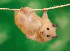 Hamster - Grauwe kiekendief - Soortbeschermingsprogramma - Piet De Bruyn