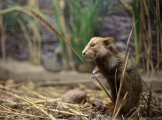 Reddingsplan hamster niet op schema - Piet De Bruyn