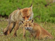 Verklaar de vos niet vogelvrij - Piet De Bruyn