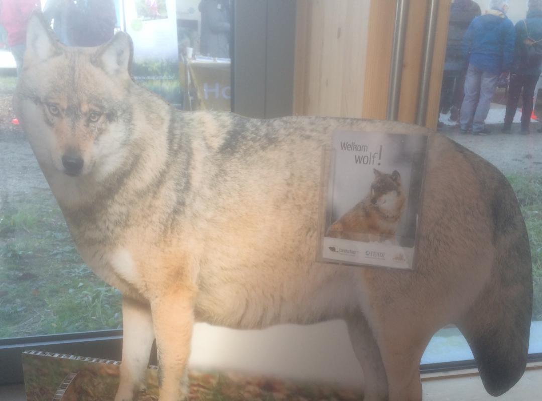 De wolf (tijdelijk?) terug in Vlaanderen: welkom Naya! - Piet De Bruyn