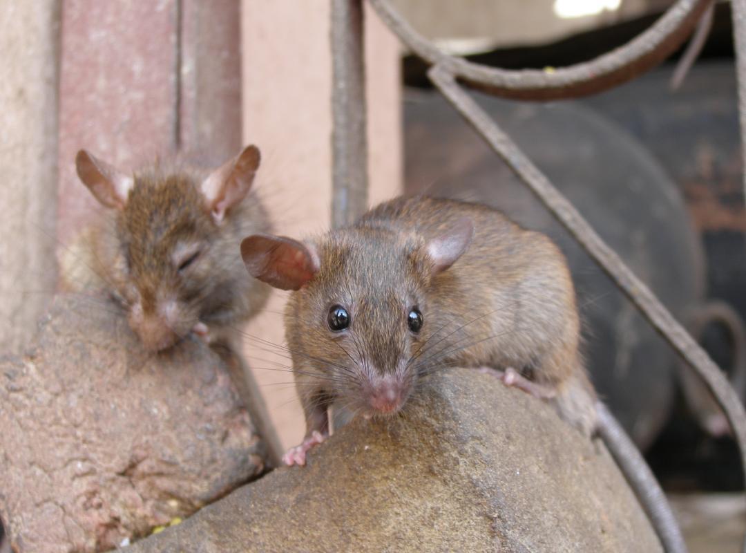 Bijna geen dierproeven in Vlaanderen meer tegen 2025? - Piet De Bruyn